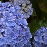 blue flowering plants