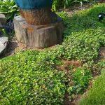 ground cover shrubs