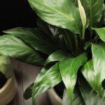 indoor plants good for your allergies