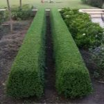 plants for hedges