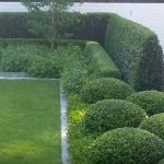privacy bushes