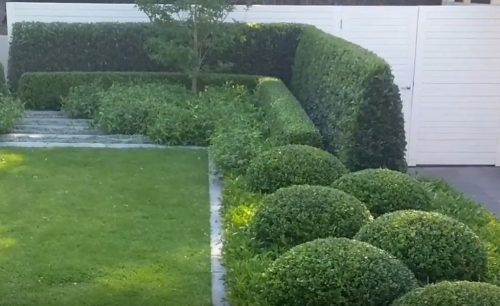 privacy bushes