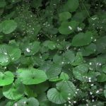 shade ground cover