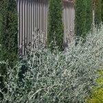 small hedge plants