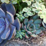 succulent indoor plants