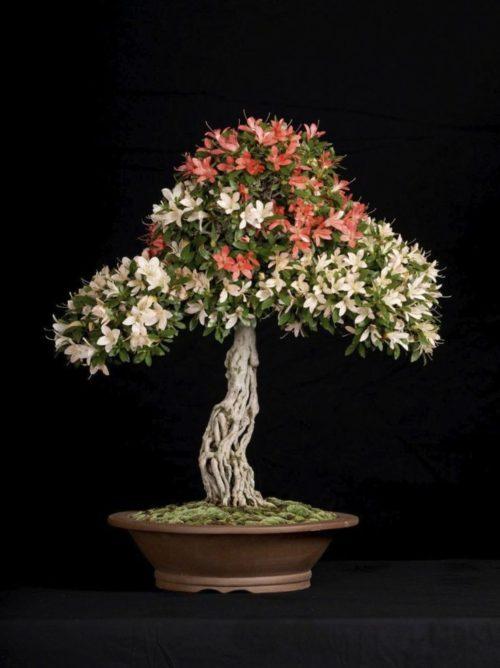 azalea bonsai indoor