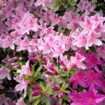 azalea bush colors
