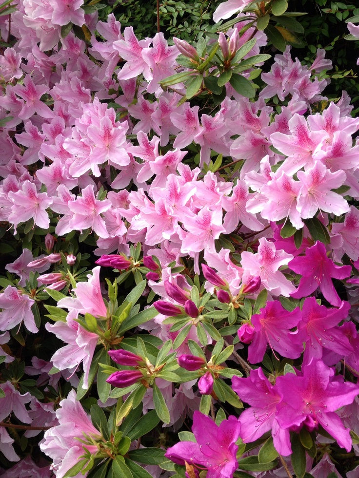 azalea bush colors flowers reviews