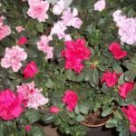 azalea plant care