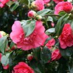 best fertilizer for azaleas