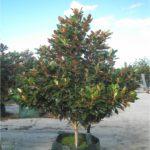dwarf magnolia tree