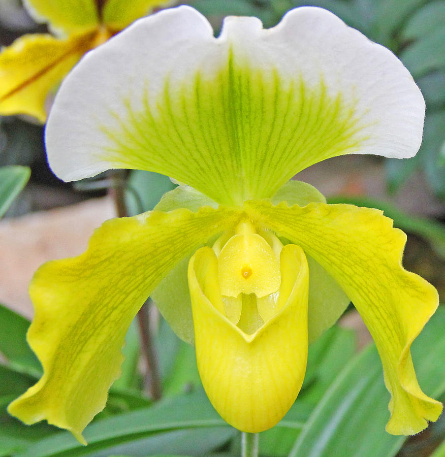 Lady Slipper Orchid Flowers Reviews