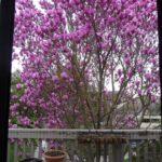 magnolia bush