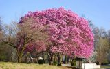 magnolia shrub
