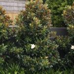 magnolia varieties