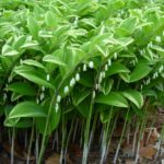 perennial plants for shade