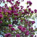 pink magnolia tree
