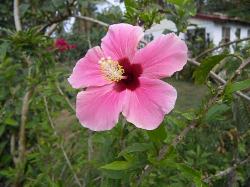 red hibiscus plant