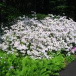 white azalea bush