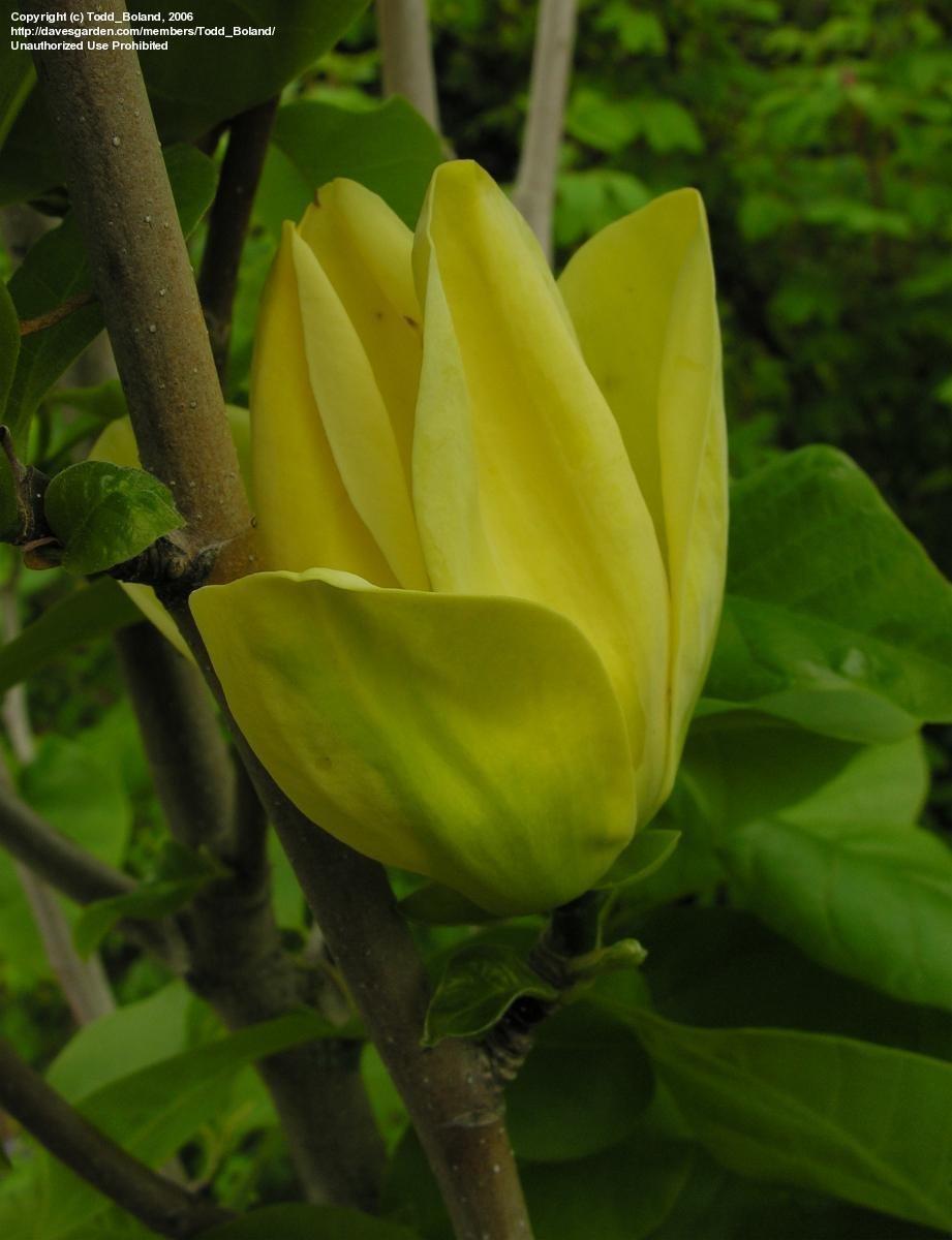 Yellow magnolia flowers reviews yellow magnolia mightylinksfo