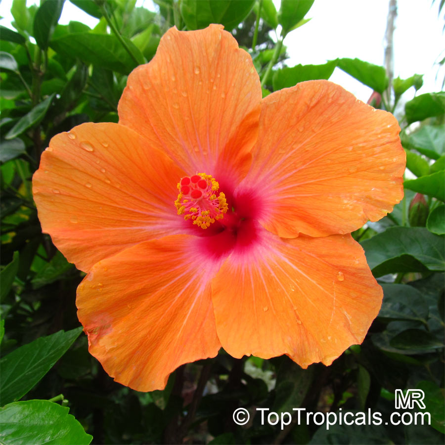 about hibiscus plant