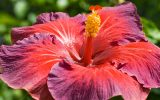 american-hibiscus-flower