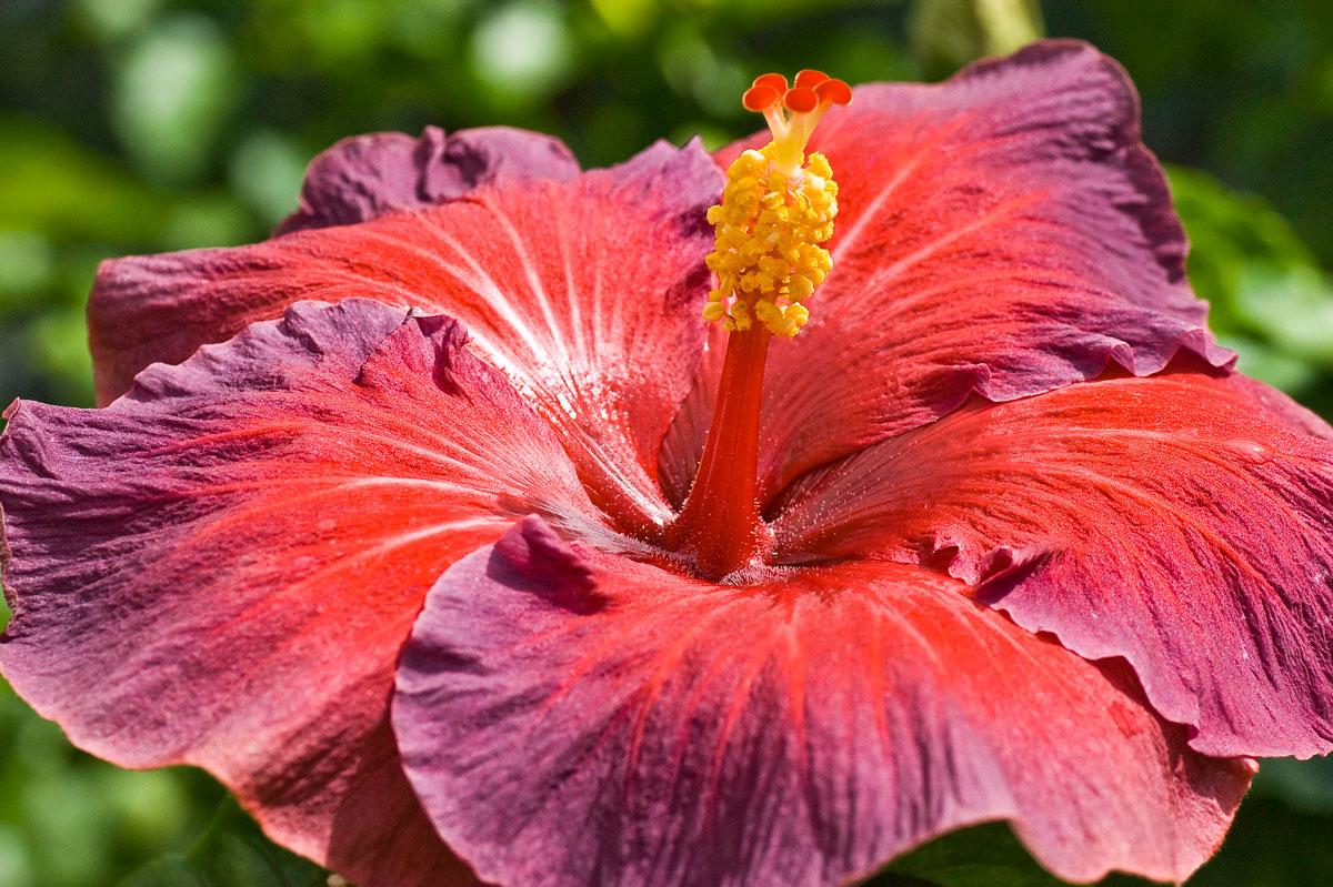 american hibiscus flower