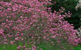ann-magnolia