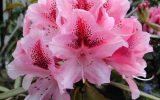 azalea-bush-images