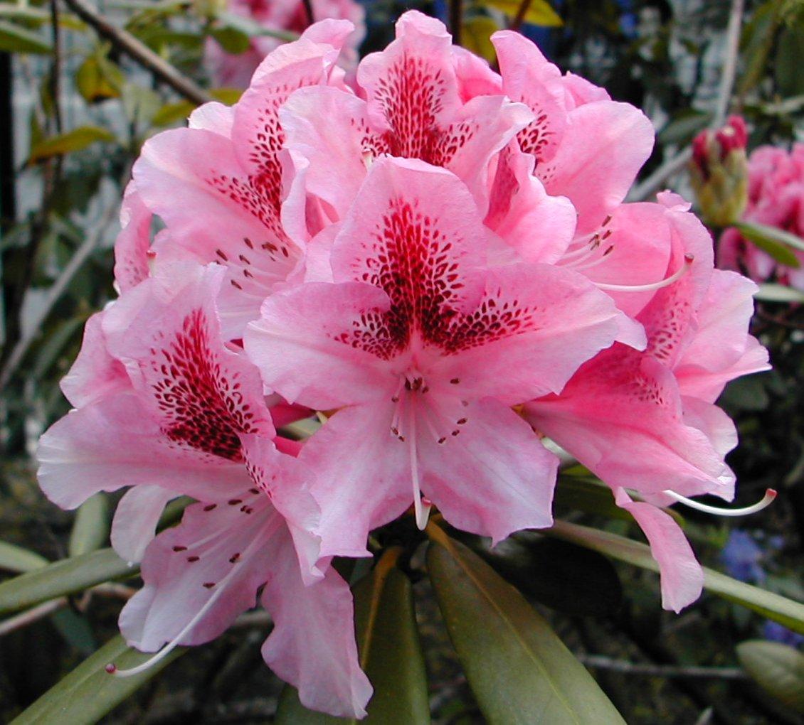 azalea bush images