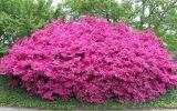 azalea-bushes