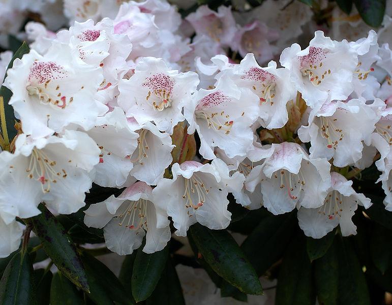 azalea flower images
