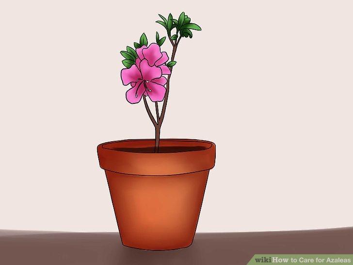 azalea how to care for
