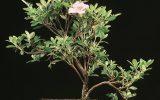 azalea-plant-care-indoors