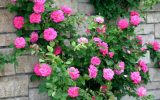 beautiful-garden-roses