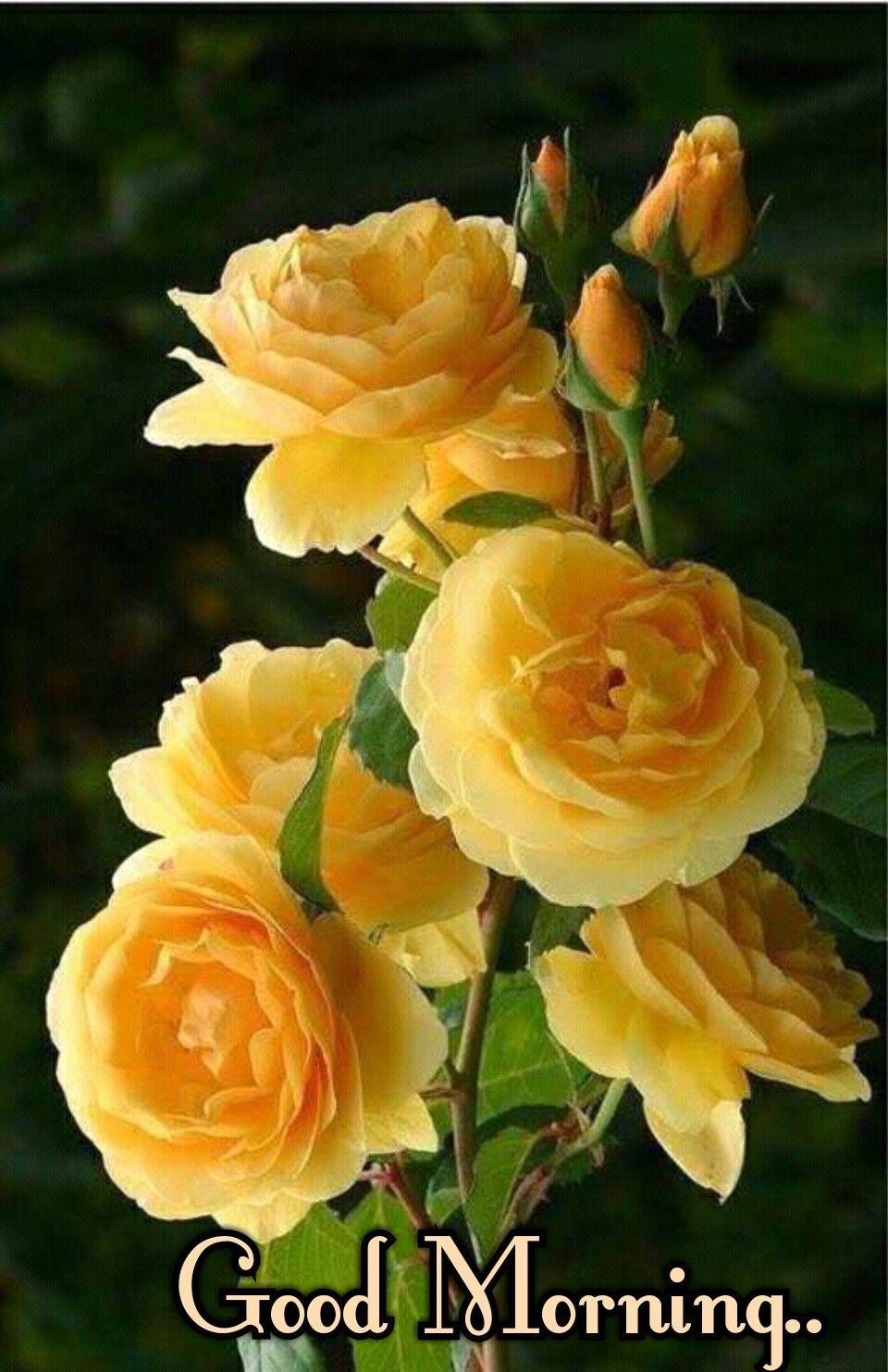 beautiful yellow rose flower