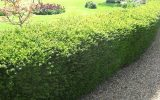 best-hedge-plants