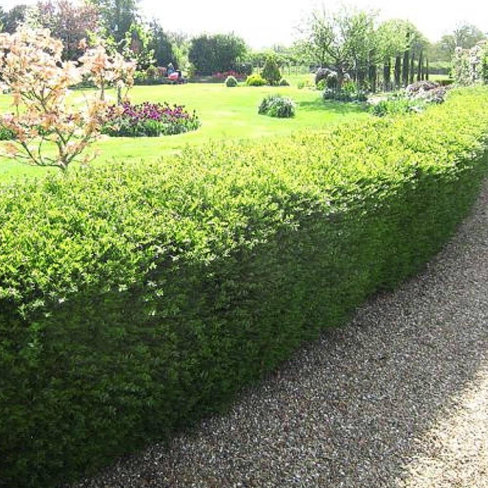 best hedge plants