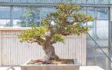 bonsai-azalea