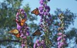 butterfly-garden-flowers