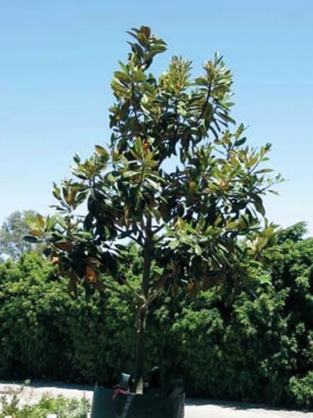 buy a magnolia tree