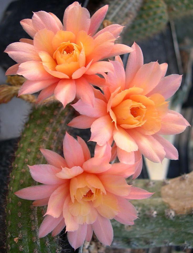 cactus rose plant