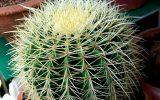cactus-varieties