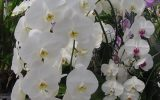 care-of-phalaenopsis-orchids