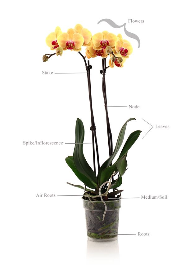 caring for indoor orchids