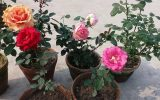 china-rose-plant-care
