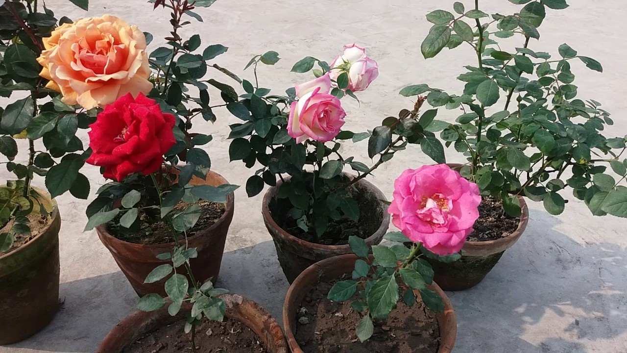china rose plant care