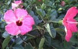 common-hibiscus-bushes