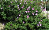 common-hibiscus-shrubs