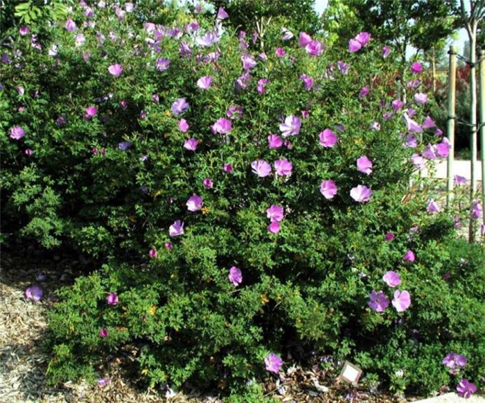 common hibiscus shrubs